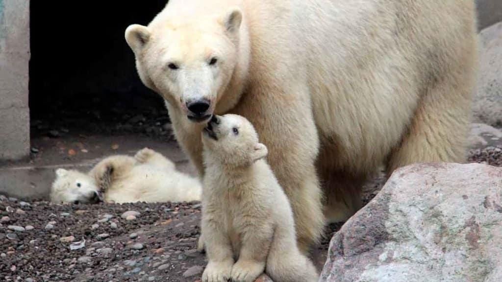 Isbjørne i Aalborg zoo