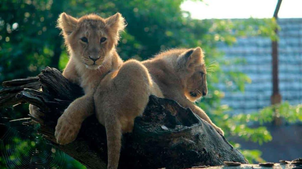 Løver i Aalborg zoo
